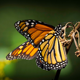 Monarch  by Satyam Muench - Animals Other ( monarch butterfly, butterfly, monarch, butterfly on plant, colorful butterfly )