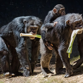Lunch Time by David Hammond - Animals Other Mammals ( mammals, chimpanzee, animals, nature, family, apes, eating, primate, lunch, young,  )
