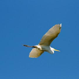 Fly high by Zeralda La Grange - Digital Art Animals ( #bird, #blue, #nature, #heron, #animal, #fly, #white )