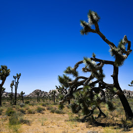 The Desert is Calling by Ally Skiba - Landscapes Deserts ( vibes, national park, desert, california adventure, blue, california, joshua tree, landscape, sacred )