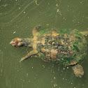 Spanish pond turtle