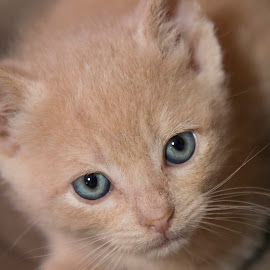 Chicken Nugget by Brook Kornegay - Animals - Cats Kittens ( face, kitten, cat, blue, buff, feline, close up, portrait, eyes,  )