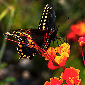 Black swallowtail by David Winchester - Animals Insects & Spiders