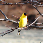 American Goldfinch (male)