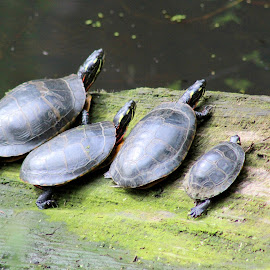 all in the family by Kim Jones - Animals Amphibians ( water, turtles, pond, log, swamp )