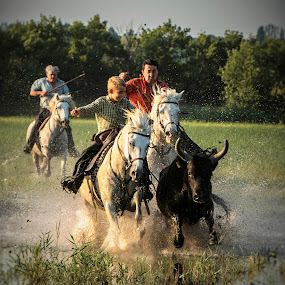 Chasing the Camargue bulls 1 by Helen Matten - Sports & Fitness Other Sports ( water, of, marshes, bulls, cowboys, guardians, south, france, french, black, herding,  )