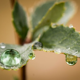 Duo by Eden Meyer - Nature Up Close Natural Waterdrops ( plant, green, drop, rain )