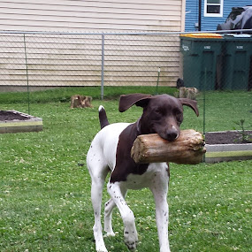What a Fetching Log by Koenraad De Roo - Animals - Dogs Playing ( playing, fetch, silly, german shorthaired pointer, pets, funny, dog,  )