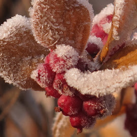 Frozen by Bozidarka Scerbe Haupt - Nature Up Close Other plants ( red, ice, fruits, leaves, frozen )
