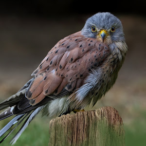 Turmfalke - Falco tinnunculus 1546.jpg