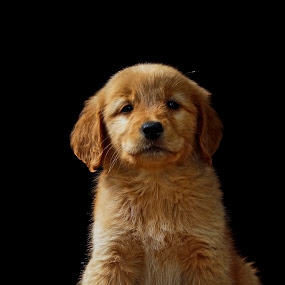 Beauty by Cristobal Garciaferro Rubio - Animals - Dogs Portraits ( pose, puppy, beauty, dog, small dog, golden, golden retriever, pwc84 )