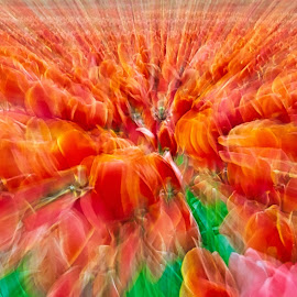 by Jim Jones - Abstract Light Painting ( art, flowers, color, tulips, design, abstract )