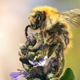 Bumblebee by Sergio Frada - Animals Insects & Spiders ( apidae tribe:bombini genus:bombus )