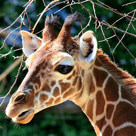 Baby giraffe by Claudiu Petrisor - Animals Other ( zoo, giraffe, germany, baby, portrait )
