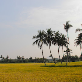 Paddy field by Guru Prasad - Landscapes Prairies, Meadows & Fields ( field, paddy field, tree, guru prasad, landscape )