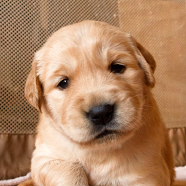 Totally Adorable Puppy Picture to Pander to the Masses by Dave Skorupski - Animals - Dogs Puppies ( canine, retriever, cute puppy, sweet, cuddly, adorable, puppy, paws, cute, dog, cute dog, golden, golden retriever,  )