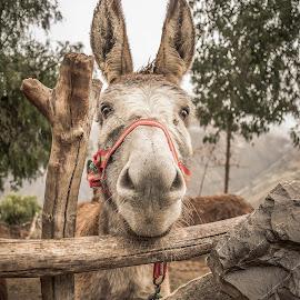 Big-eared by Angel Taipe - Animals Horses ( farm, granja, cuadrupedo, nature, donkey, burro, mammal, animal, mamiferos, mamals )