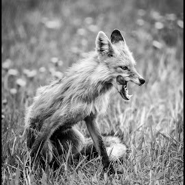 Red Fox Female by Dave Lipchen - Black & White Animals ( red fox female, red fox )