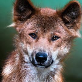 by Renos Hadjikyriacou - Animals - Dogs Portraits (  )