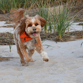 Beach time by Steven Liffmann - Animals - Dogs Playing