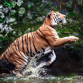 by MazLoy Husada - Animals Lions, Tigers & Big Cats