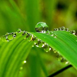 Drops on grass by Asif Bora - Nature Up Close Natural Waterdrops