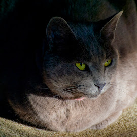Smikey by Don Durante - Animals - Cats Portraits ( cats, cat, animals, russian, blue )