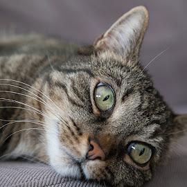 by Thomas Berwein - Animals - Cats Portraits