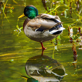 Mallard Reflection by Jerry Cahill - Animals Birds ( mallard, mallards, ducks, duck, water birds )