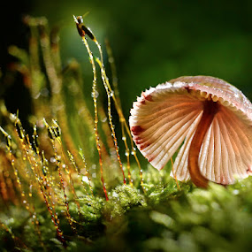 by Marianna Armata - Nature Up Close Mushrooms & Fungi ( illuminated, tiny, mushroom, water, drop, moss, back-lit, forest, marianna armata, lit up, macro, fungi, floor, autumn, droplet, fall, wet, small, rain )
