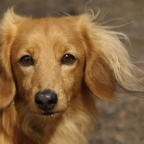 Caught My Eye! by Chrissie Barrow - Animals - Dogs Portraits ( wind, red, dachshund (miniature long haired), pet, fur, ears, dog, bokeh, nose, tan, portrait, eyes,  )