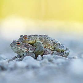 Free-ride can be nice. For one of us. by Sami Rahkonen - Animals Amphibians ( wild animal, wild, frog, amphibian, wildlife, amphibians, bokeh, love, wilderness, nature, toad, toads, couple, mating, mate, animal )