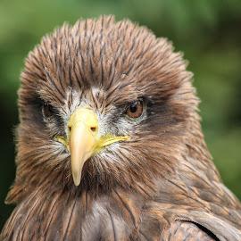 Raptor by Garry Chisholm - Animals Birds ( bird, garry chisholm, nasture, buzzard, wildlife, prey, hawk )