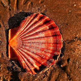 Coquille Saint Jacques by Ciprian Apetrei - Nature Up Close Other Natural Objects ( shell, coquille saint jacques, ocean, beach, brittany )