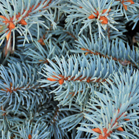Blue Spruce by Beth Bowman - Nature Up Close Trees & Bushes