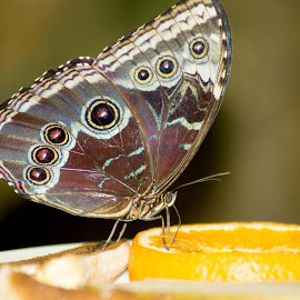 Butterly  by Joyce Dales - Animals Insects & Spiders