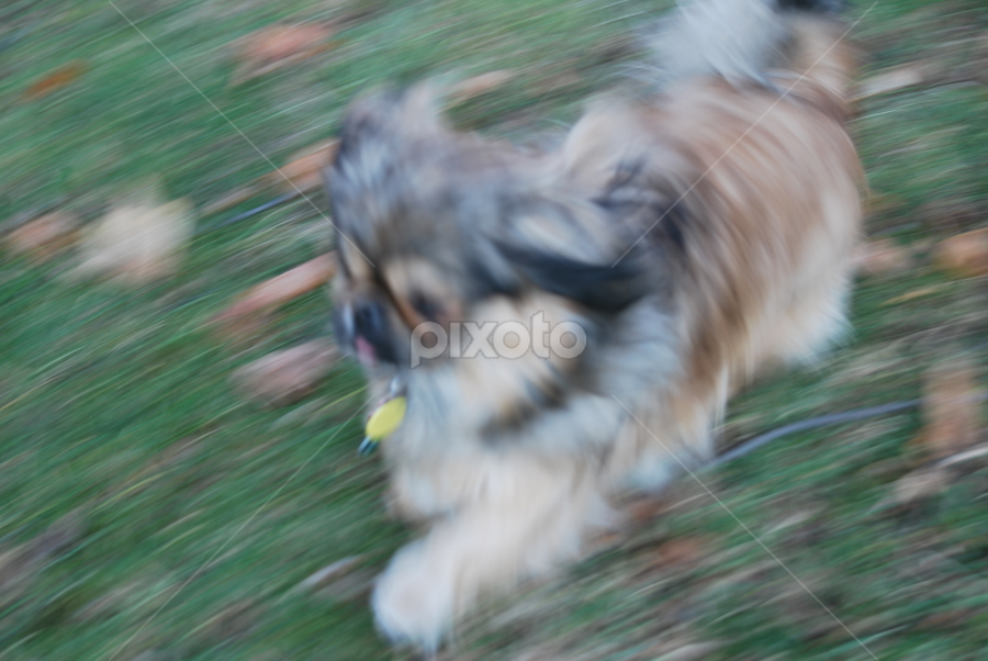 the flash by Tim Hauser - Animals - Dogs Running ( pekingese, dog, running, mammal, animal )