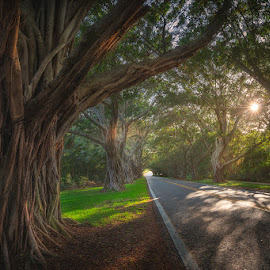 Fiscus Tree Tunnel by Matt Reynolds - City,  Street & Park  Street Scenes ( fl, tree, florida, fiscus, west palm beach, sunlight, rays, tunnel, hobe )