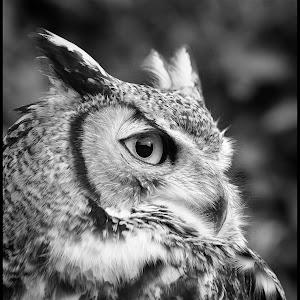Great Horned Owl-18.jpg