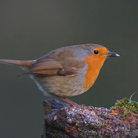 Robin with food by Bob Rawlinson - Animals Birds ( 06 01 18 )