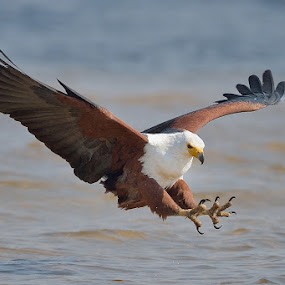 Incoming! by Neal Cooper - Animals Birds ( african fish eagle )
