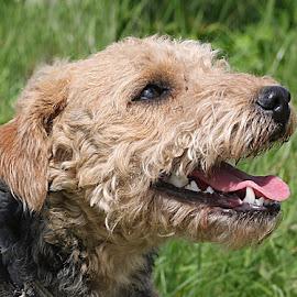 Happy Libby by Chrissie Barrow - Animals - Dogs Portraits ( tongue, ear, grass, pet, fur, grey, dog, teeth, nose, lakeland terrier, cream, portrait, eye )