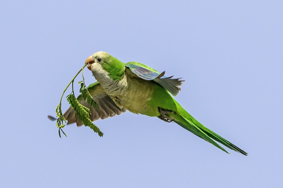 Monk Parakeet in Hidalgo, Texas by Debbie Quick - Animals Birds ( quaker parrot, debbie quick, nature, outdoor photography, nature up close, nature lovers, texas, natures best shots, monk parakeet, debs creative images, national geographic, outdoor magazine, wildlife photography, bright green parrato, outdoors, animal photography, bird photography, bird, parakeet, animal, myiopsitta, wild, nature photography, wildlife )