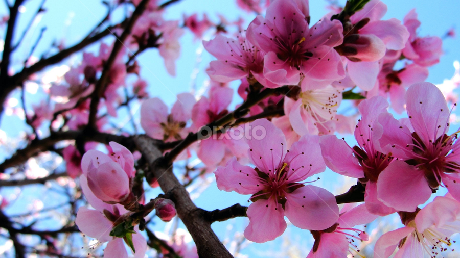 Blossom Tree by Samantha Faith - Novices Only Flowers & Plants ( pink, blossom, bloom, tree, branch, flower )
