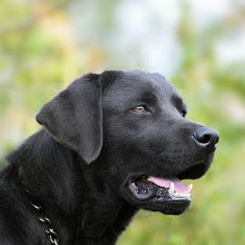 Fred by Jenkinson Balinggan - Animals - Dogs Portraits ( labrador retriever, black dog, dog portrait, labrador, dog, friend, animal )