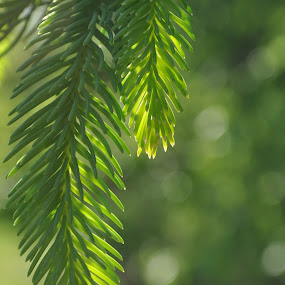 New Growth by Kristina Weber - Nature Up Close Trees & Bushes ( green, pine needles, pine, sunlit, close-up )
