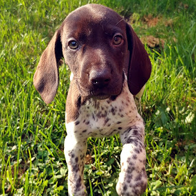 Welcome Home Lyric by Koenraad De Roo - Animals - Dogs Puppies ( german shorthaired pointer, dog portrait, puppy, dog, cute )