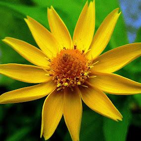 Yellow enchantress  by Pradeep Kumar - Flowers Single Flower