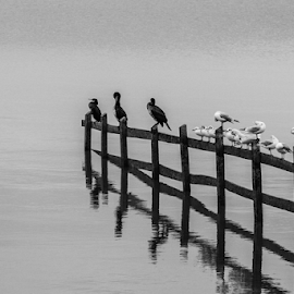 The birds by Garry Chisholm - Black & White Animals ( nature, bird, tern, cormorant, water, fence, wildlife, garry chisholm )