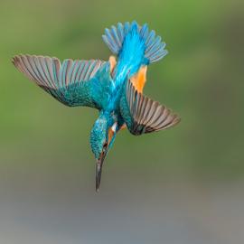 the dip by Riccardo Trevisani - Animals Birds ( trevisani, wild, nature, riccardo, kingfisher, wildlife )